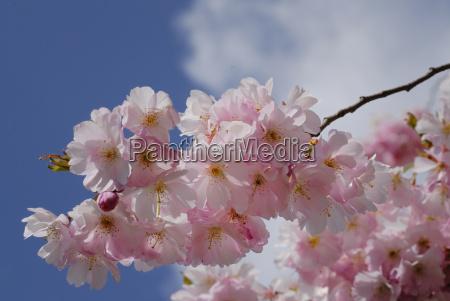 niebieski drzewa rozkwitac kwitnienie kwiaty wiosna