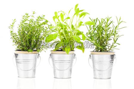 szalwiatymianek i rozmaryn herb uprawy roslin